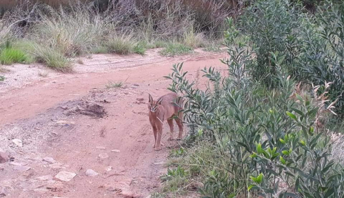 Caracal spotted in Constantiaberg