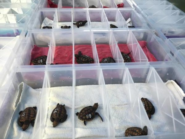 Hundreds of turtle hatchlings rescued in Cape Town