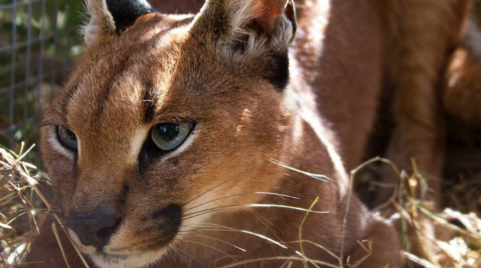 Cape caracals could face extinction