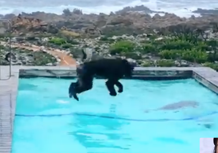 It's a baboon pool party and you're invited