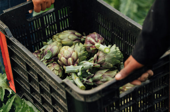 Artichokes Festival at Ayama Slent Farms