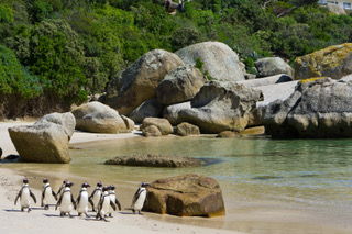 African Penguin research project begins at Boulders