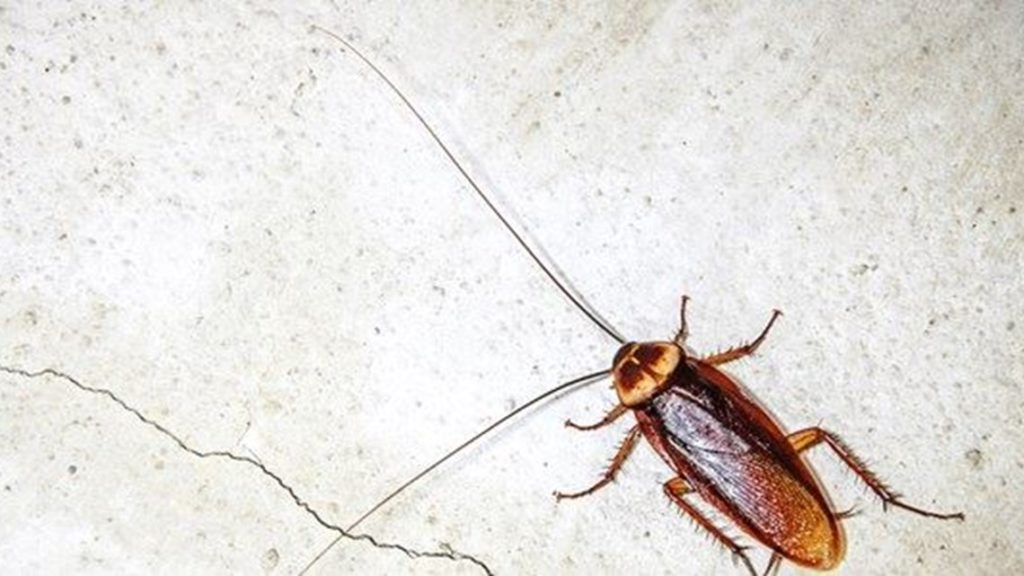 Cape Town overrun with cockroaches