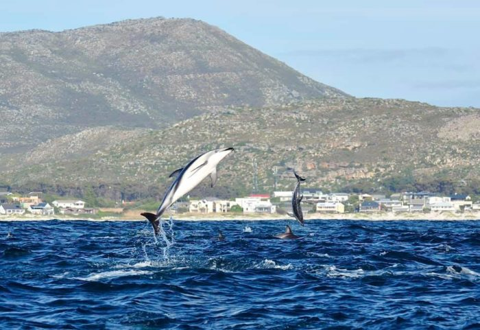 Huge dusky dolphin pod spotted in Chapman's Bay