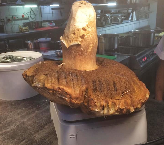 Giant edible mushroom found in Tokai Forest