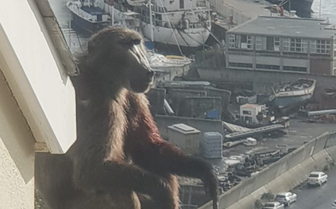 Residents outraged by senseless baboon killings