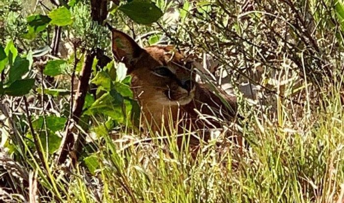 Hiker encounters curious caracal