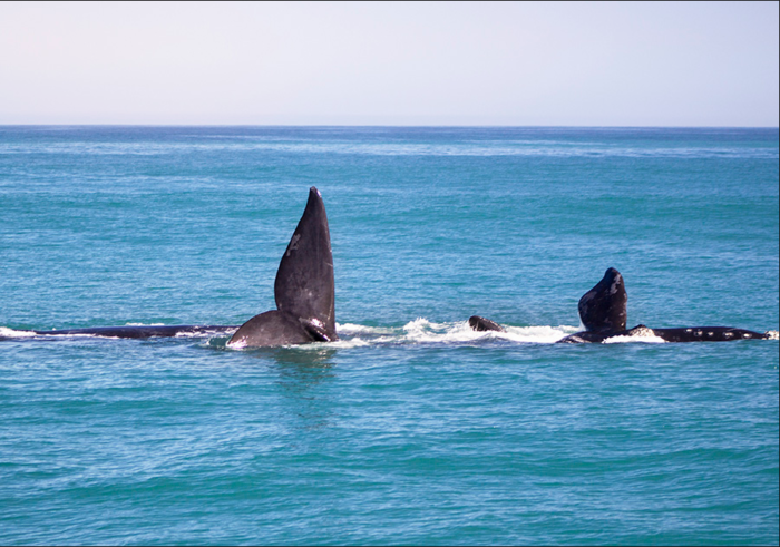 Your guide to the Hermanus Whale Festival