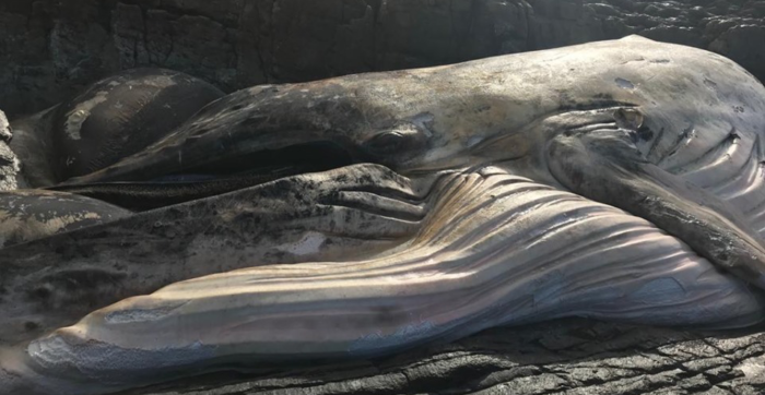 Whale washes ashore near Palmiet River