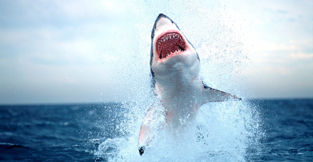 Great white sharks missing from False Bay