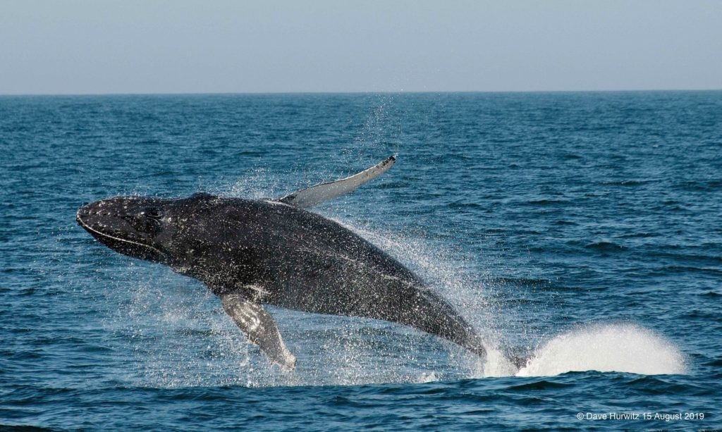 Whale breaches over 30 times in False Bay