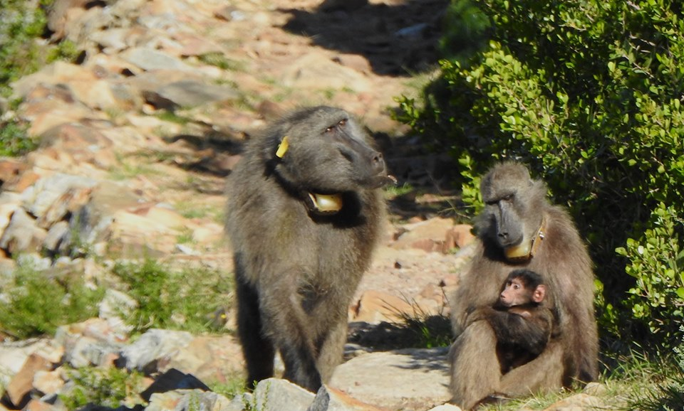 Organisation aims to educate locals on baboons