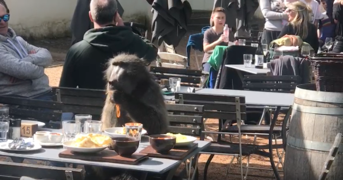 Baboon binges on Italian feast at Cape Town restaurant