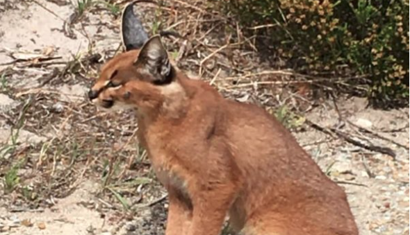 Caracal spotted on Boyes Drive