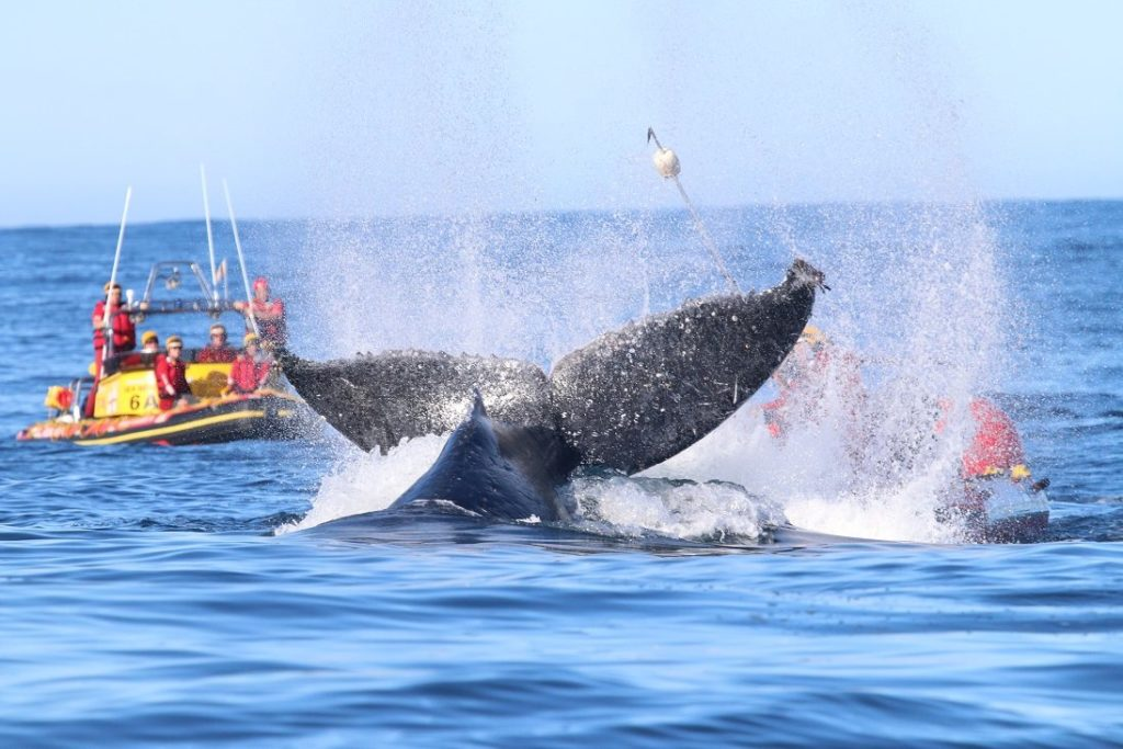 Whale carcass freed from fishing nets