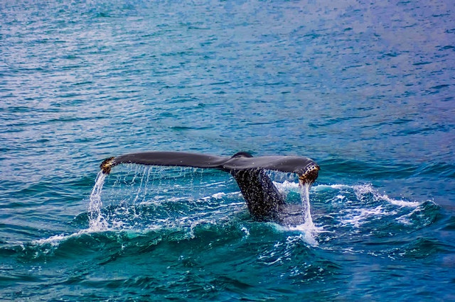 Octopus fishing rules tightened to save whales