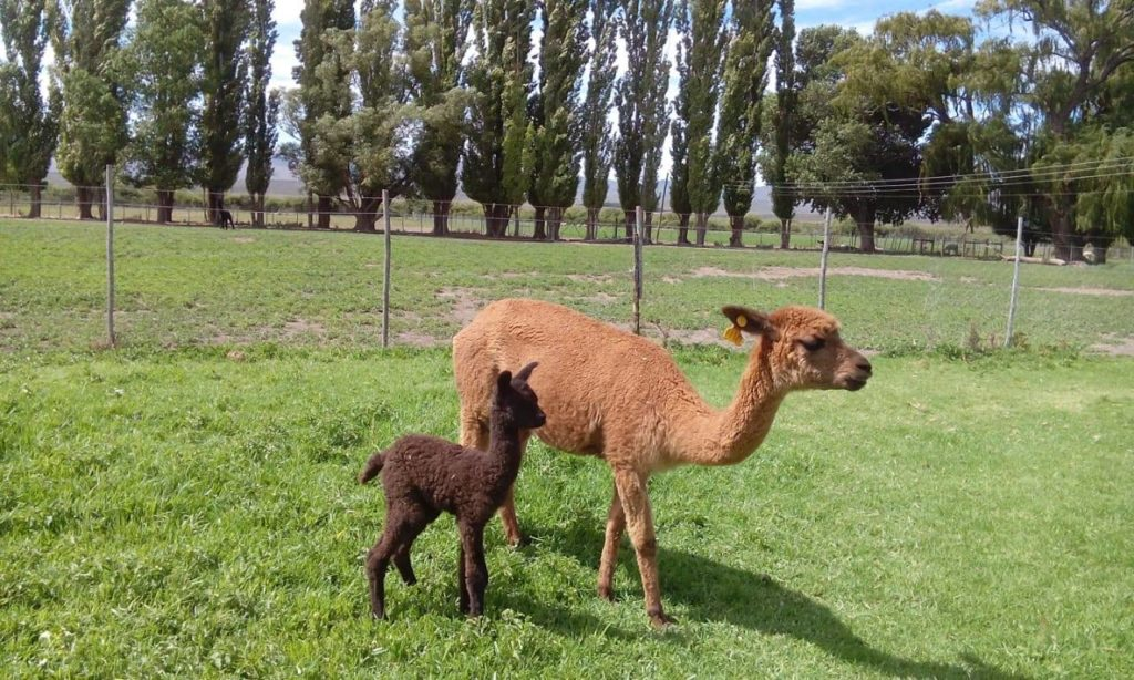 Drought forces alpaca herd to seek new home