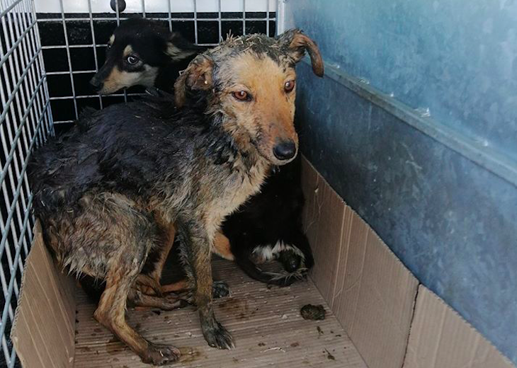 SPCA saves distressed dogs from drain