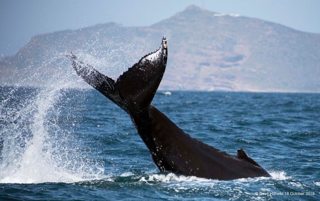 Super-groups of humpback whales seen on West Coast