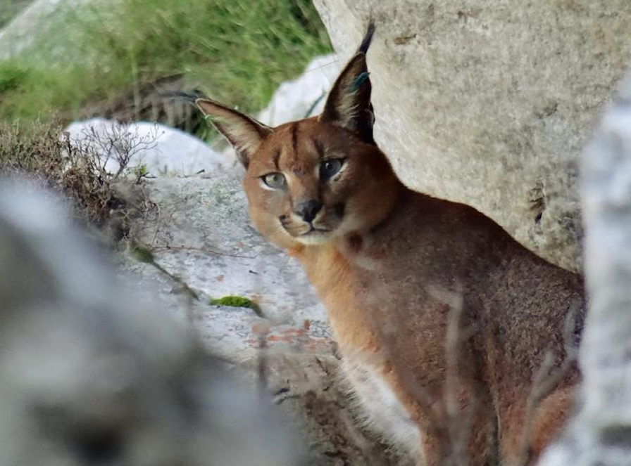 Elusive caracal spotted in Tokai