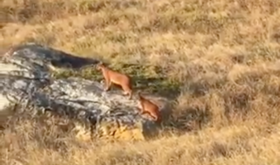 Caracal mom and kitten spotted at Cape Point
