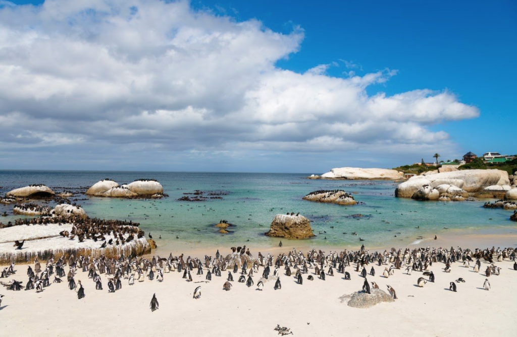 Boulders Beach penguins under threat from tourists