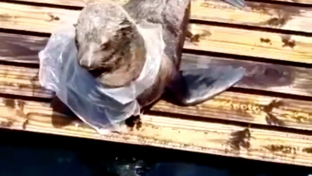 """Ninja"" saves seal from plastic at Two Oceans Aquarium"