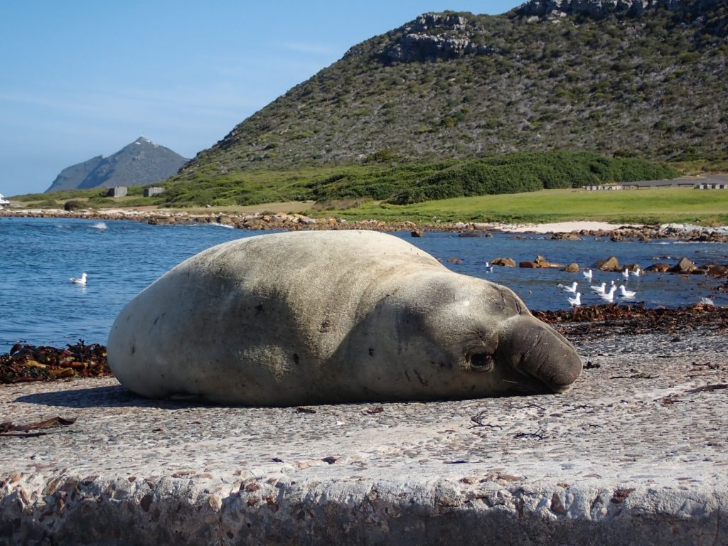 Buffel the elephant seal spotted in False Bay