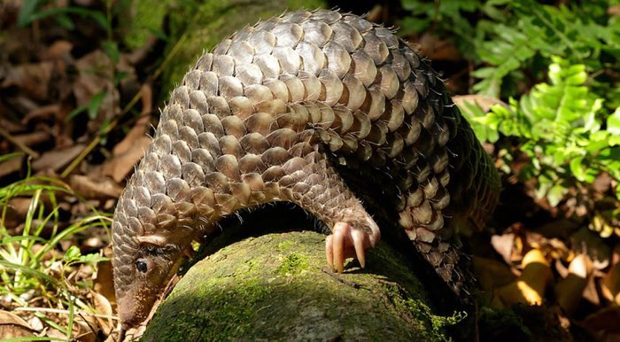 Coronavirus traced back to pangolins