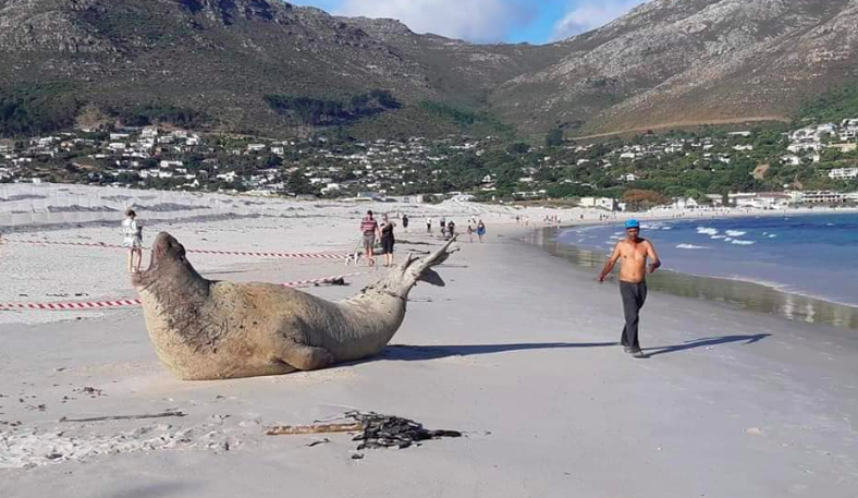 Southern elephant seal pays Hout Bay a visit