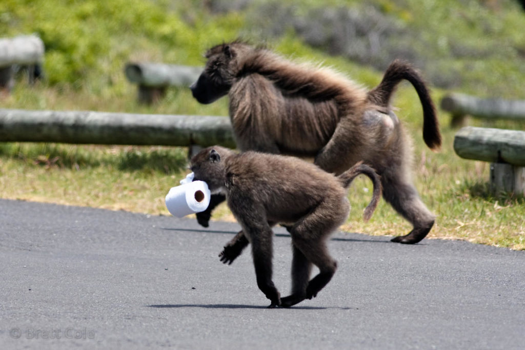 Baboons 'panic buy' toilet paper in Buffels Bay