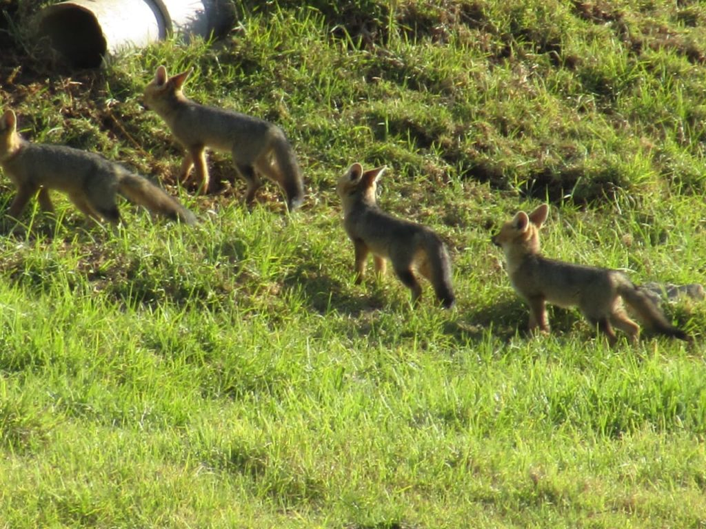 Rare spotting of Cape fox family in Somerset West