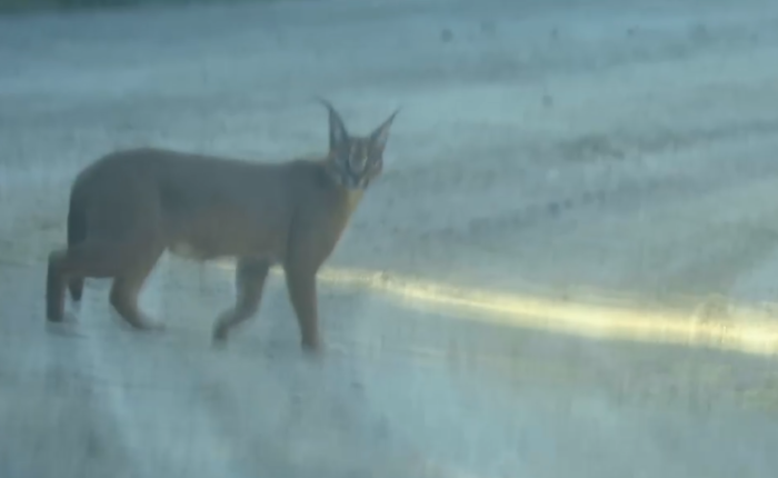 Caracal spotted out for a stroll