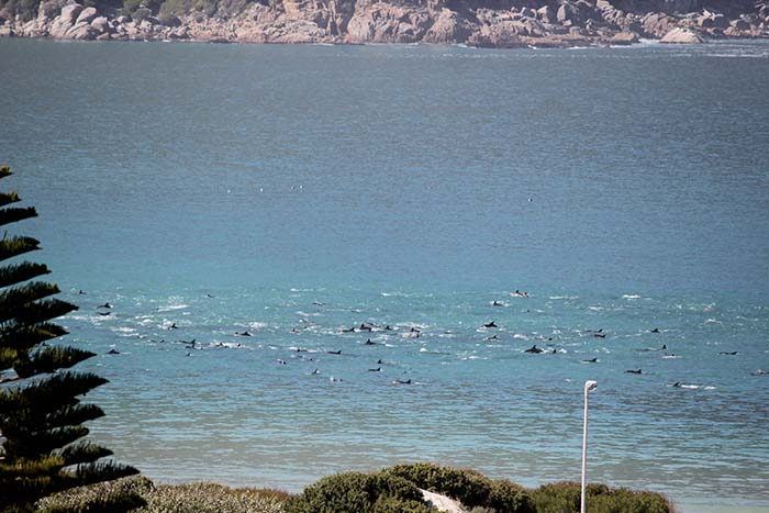 Dolphins frolic in deserted Hout Bay