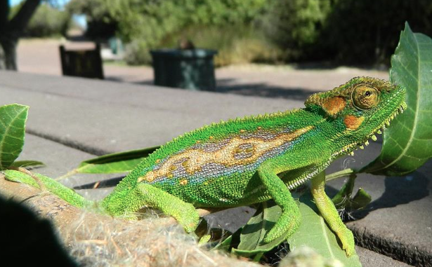 Residents urged to look out for dwarf chameleons