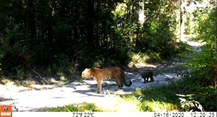 Trail camera spots mother leopard roaming with two cubs