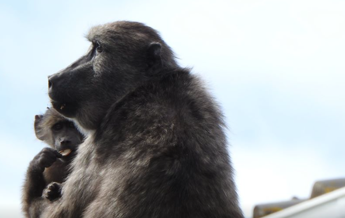 Kommetjie residents outraged at killing of baboon and baby