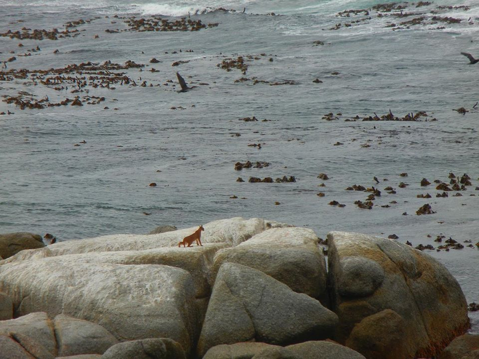 The curious caracals of Cape Point