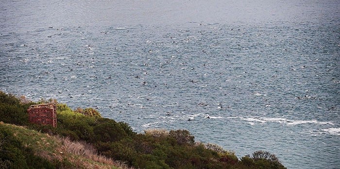 Dolphins put on a live nature show for Hout Bay residents