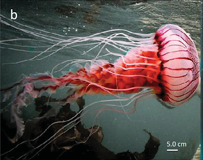 UWC student finds new jellyfish species in Agulhas