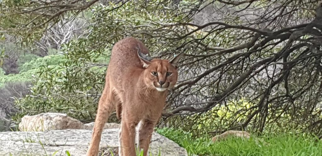 Caracal snapped meandering Camps Bay Drive