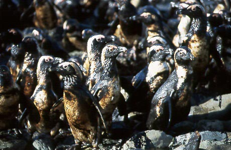 Cape's biggest oil spill, 20 years on