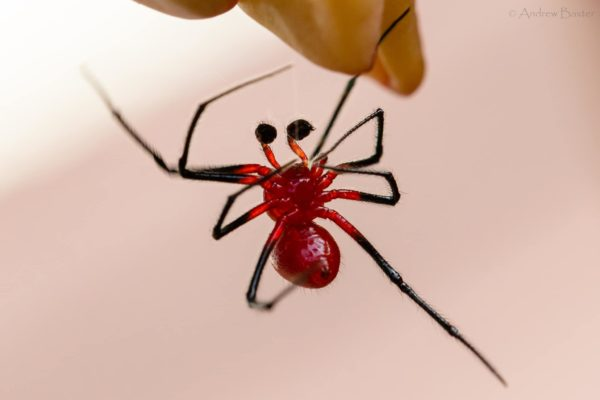 It is currently uncertain what species the spider is. Credit: Andrew Baxter