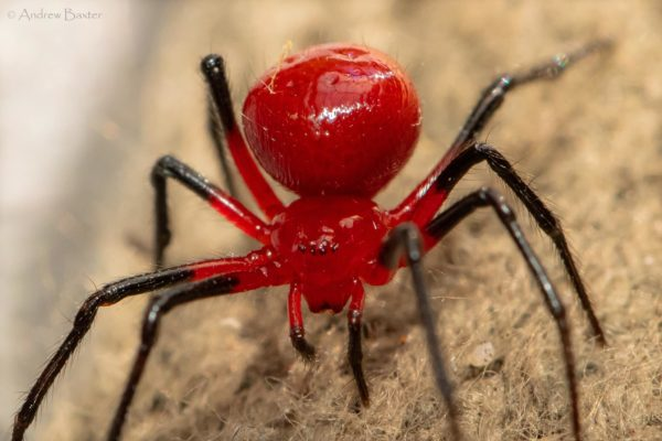 The spider will undergo a classification process. Credit: Andrew Baxter