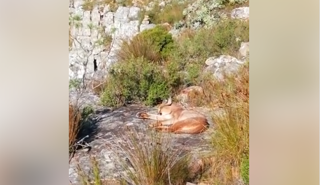 Caracal spotted adorably grooming itself at Kloof Corner