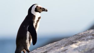 Motorists warned over penguins hit by vehicles