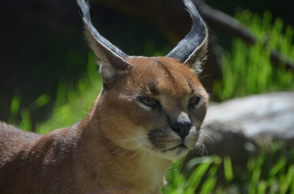Residents urged to keep caracals safe from dogs