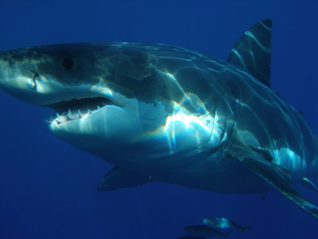 Great white sharks disappearing from Western Cape shores, shows study