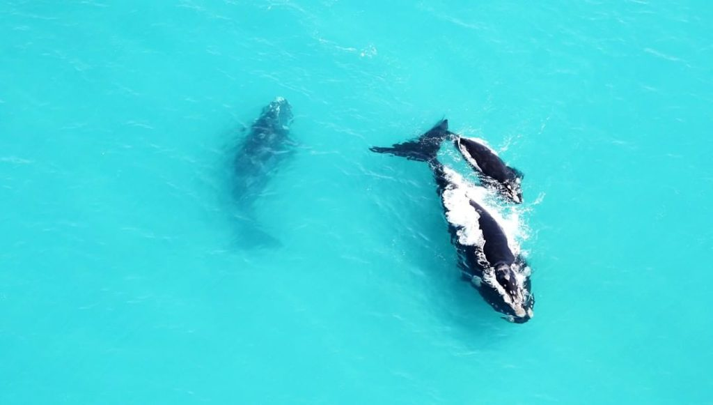 Southern right whales leap at Grootbos Nature Reserve
