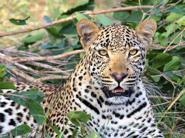Leopard spotted on Montagu mountain slopes